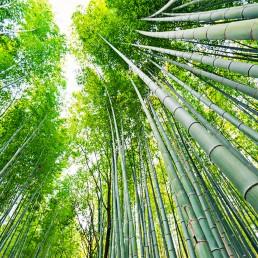Bamb Gigante Onlymoso.Il Bambu Onlymoso It