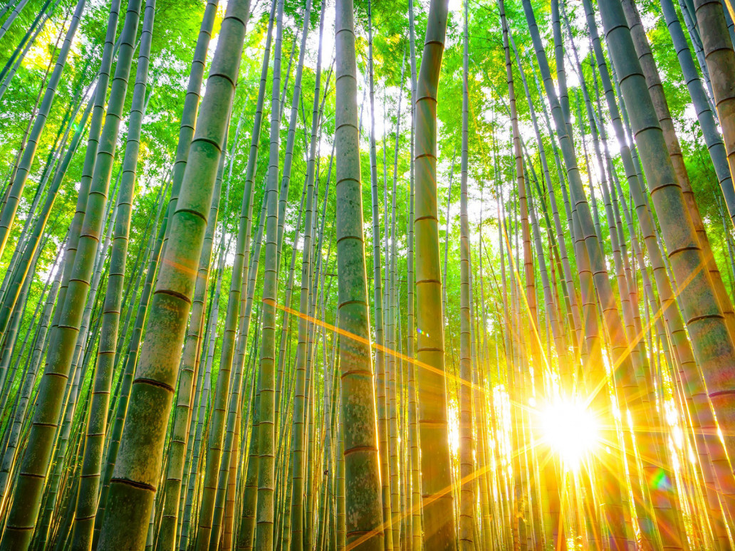 Coltivare-Bambu